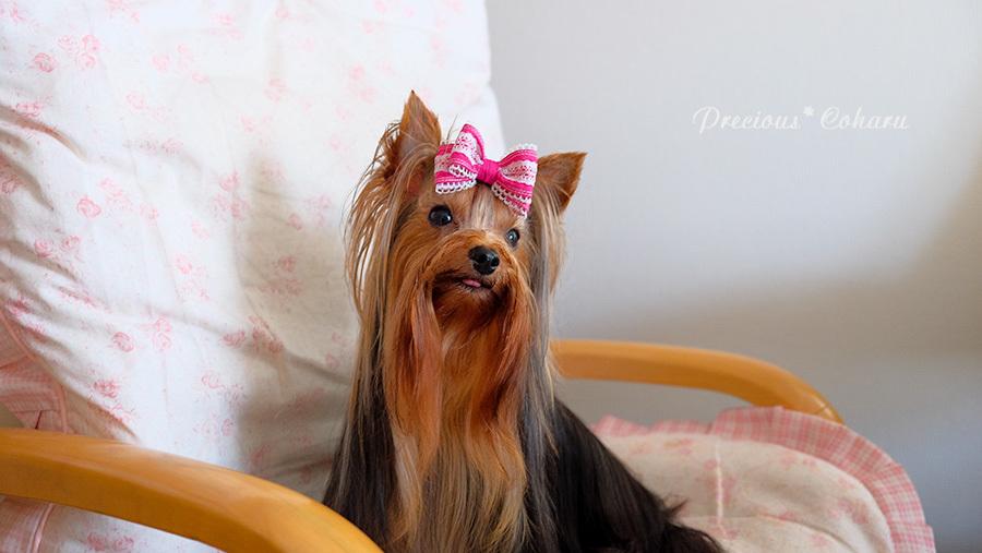 DOG PHOTO#152:新しいおリボンをつけてみたよ。_c0101341_17022487.jpg