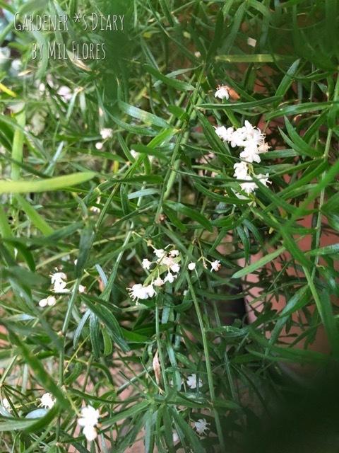 アスパラガス スプレンゲリーの小さなお花_e0365614_21172958.jpg