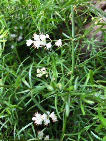 アスパラガス スプレンゲリーの小さなお花_e0365614_21175159.jpg