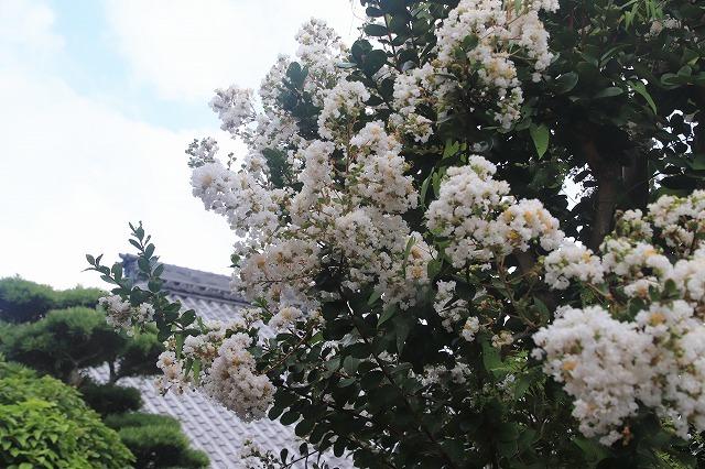 永昌寺の百日紅満開(撮影:8月25日)_e0321325_17572008.jpg