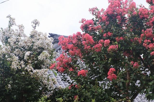 永昌寺の百日紅満開(撮影:8月25日)_e0321325_17573619.jpg