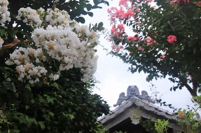 永昌寺の百日紅満開(撮影:8月25日)_e0321325_17584235.jpg