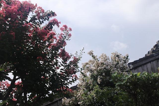 永昌寺の百日紅満開(撮影:8月25日)_e0321325_17591066.jpg