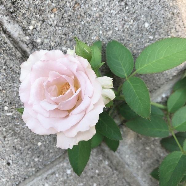 夏のバラ。_c0367433_10131701.jpg