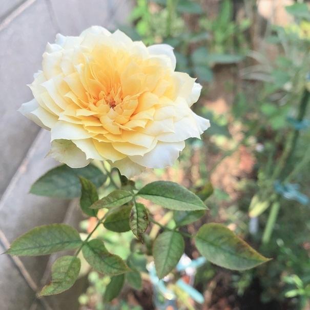 夏のバラ。_c0367433_10133113.jpg