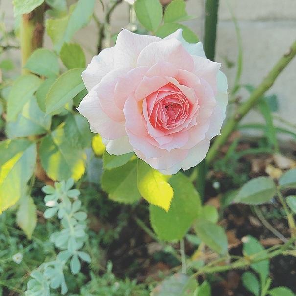 夏のバラ。_c0367433_10133953.jpg