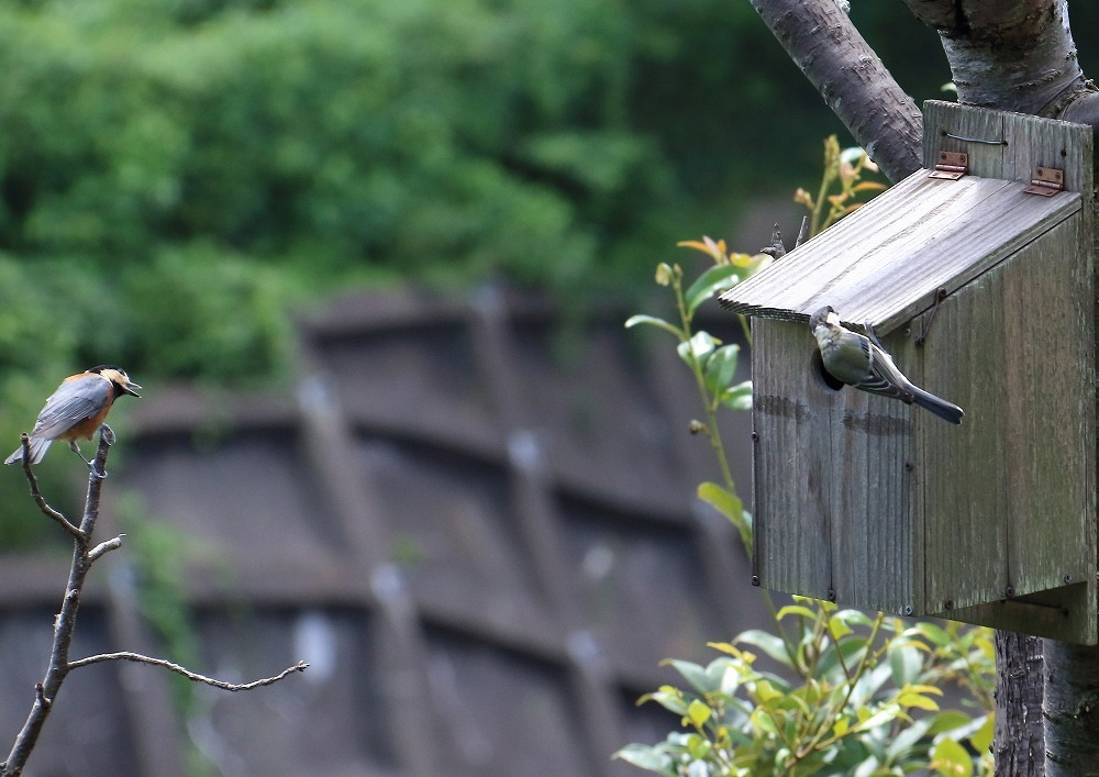 我が家-巣箱にヤマガラとシジュウカラ_c0114159_09314228.jpg