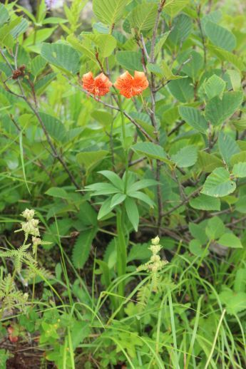 20200822 【八方尾根】高山植物は花盛り_b0013099_11240629.jpg