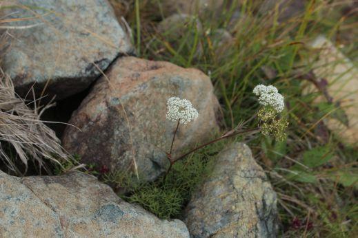 20200822 【八方尾根】高山植物は花盛り_b0013099_11240639.jpg
