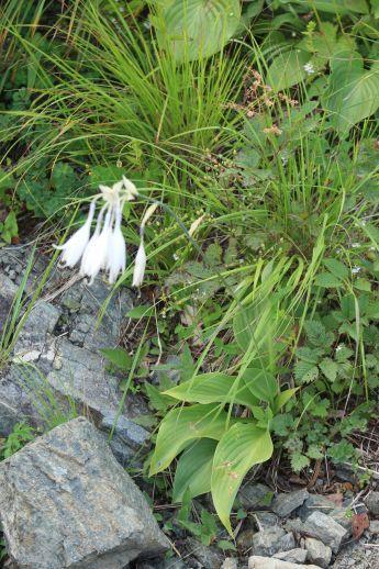 20200822 【八方尾根】高山植物は花盛り_b0013099_11240688.jpg