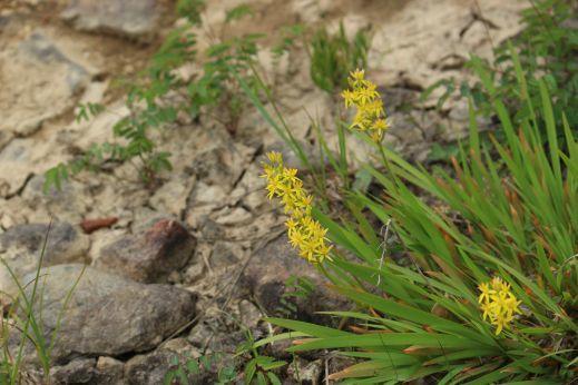 20200822 【八方尾根】高山植物は花盛り_b0013099_11240690.jpg