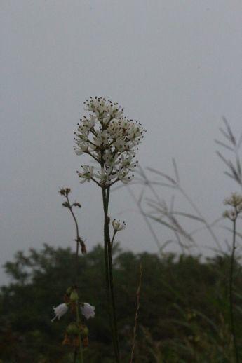 20200822 【八方尾根】高山植物は花盛り-その2_b0013099_17235430.jpg