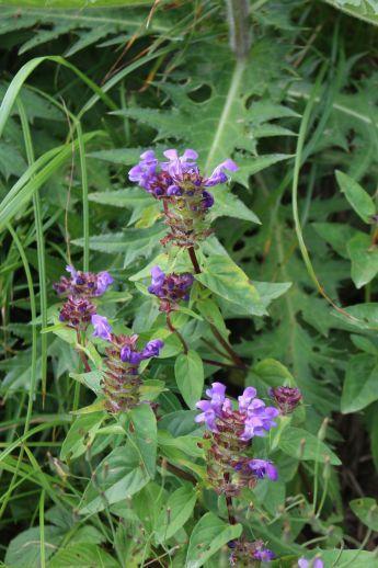 20200822 【八方尾根】高山植物は花盛り-その2_b0013099_17235517.jpg