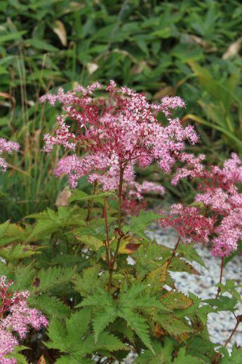 20200822 【八方尾根】高山植物は花盛り-その2_b0013099_17235543.jpg