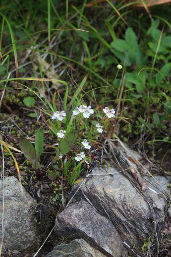 20200822 【八方尾根】高山植物は花盛り-その2_b0013099_17235581.jpg