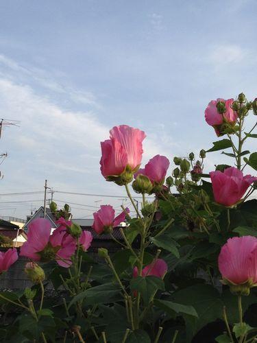 芙蓉の花_c0141013_07085037.jpg