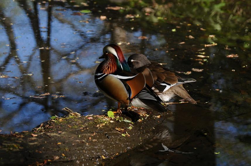 """2020年8月 『北海道大学オシドリ一家物語』 Augusut 2020 \""""Mandarin Ducks\' Story\""""_c0219616_10091405.jpg"""