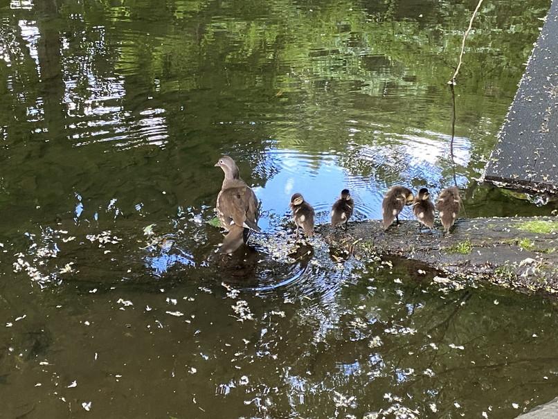 """2020年8月 『北海道大学オシドリ一家物語』 Augusut 2020 \""""Mandarin Ducks\' Story\""""_c0219616_10191167.jpg"""