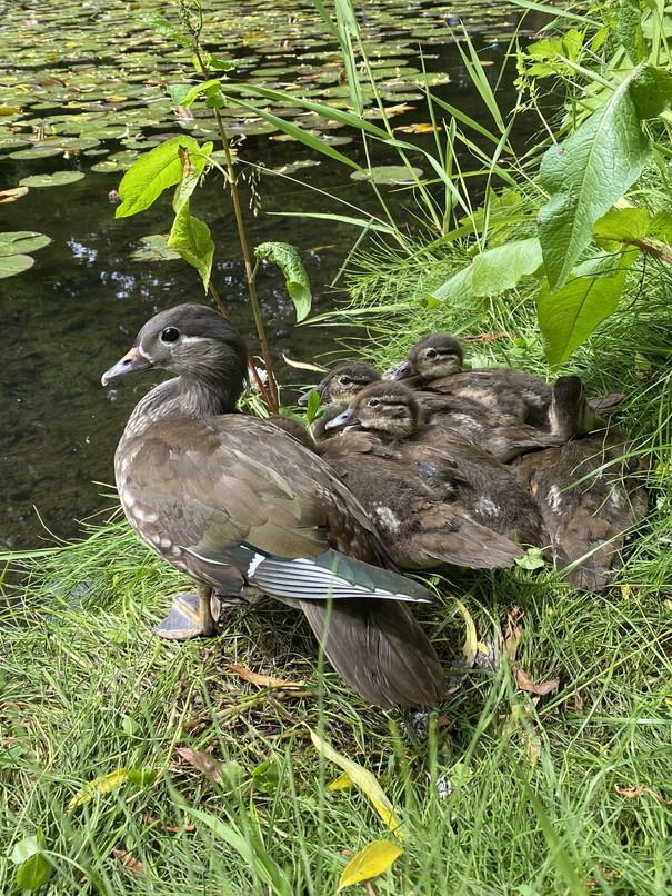 """2020年8月 『北海道大学オシドリ一家物語』 Augusut 2020 \""""Mandarin Ducks\' Story\""""_c0219616_10223307.jpg"""