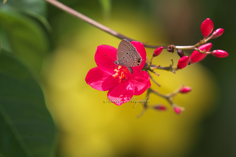 クロマダラソテツシジミ(Plains Cupid )★☆☆☆☆  _d0013455_21063515.jpg