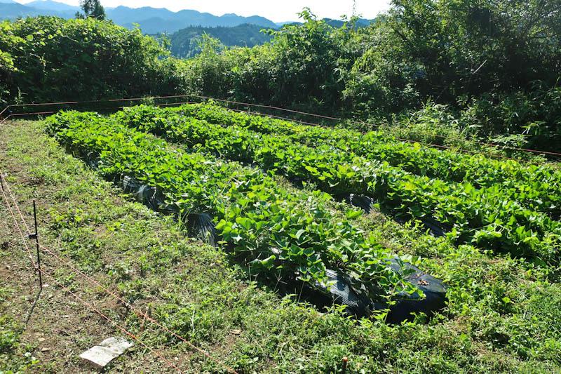 家庭菜園_d0127876_21253716.jpg