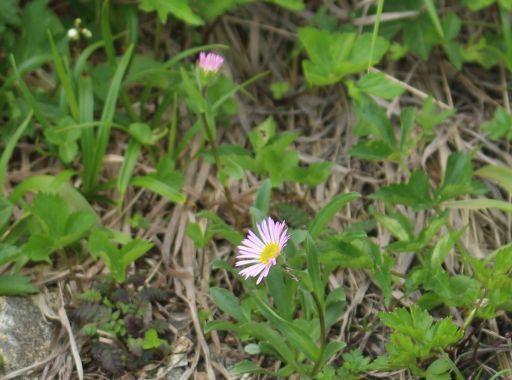 20200822 【八方尾根】高山植物は花盛り-その3_b0013099_17383208.jpg