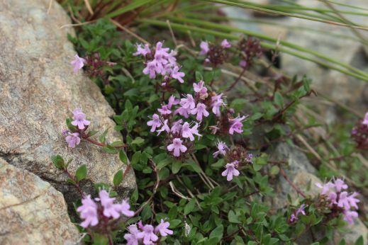 20200822 【八方尾根】高山植物は花盛り-その3_b0013099_17472696.jpg
