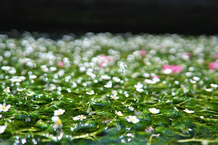 醒井宿の梅花藻_e0170058_19353973.jpg