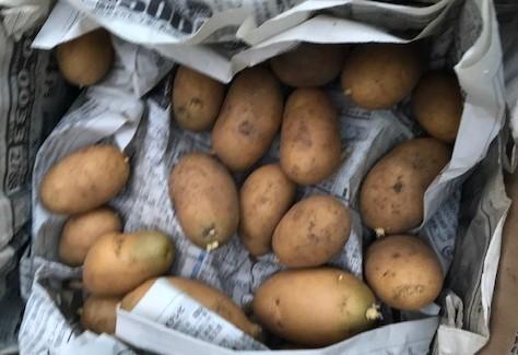 一気に秋ジャガ植え付け、大根など種蒔き8・31_c0014967_16252011.jpg