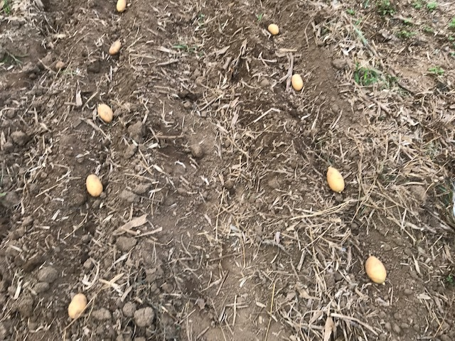 一気に秋ジャガ植え付け、大根など種蒔き8・31_c0014967_16261635.jpg