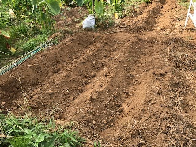一気に秋ジャガ植え付け、大根など種蒔き8・31_c0014967_16270105.jpg