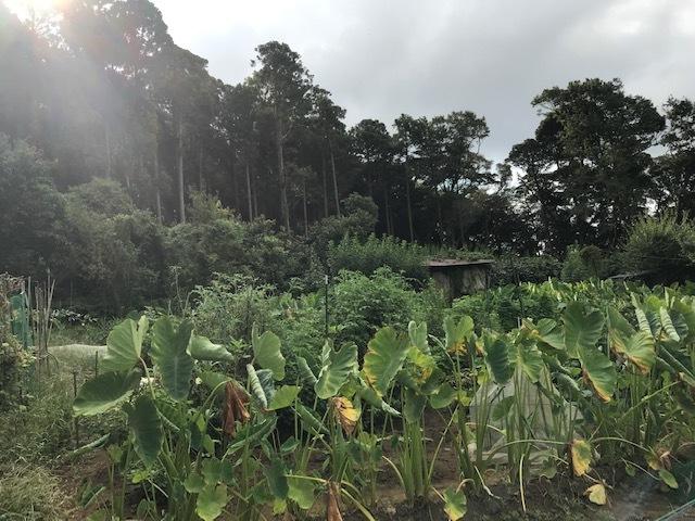 一気に秋ジャガ植え付け、大根など種蒔き8・31_c0014967_16303282.jpg
