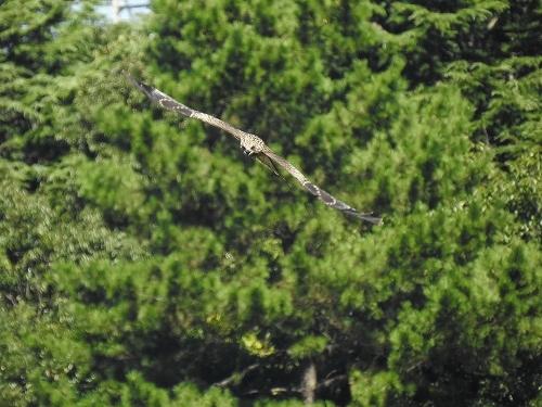 ★小鳥たちの秋の渡りが見られました・・・先週末の鳥類園(2020.8.29~30)_e0046474_18442539.jpg
