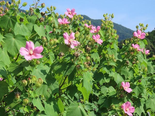 フヨウの花と出会う(撮影:8月30日)_e0321325_15233120.jpg
