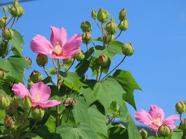 フヨウの花と出会う(撮影:8月30日)_e0321325_15253257.jpg