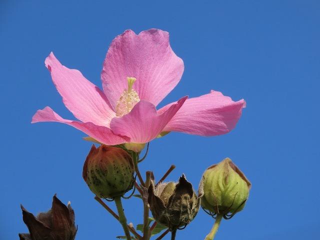 フヨウの花と出会う(撮影:8月30日)_e0321325_15260879.jpg