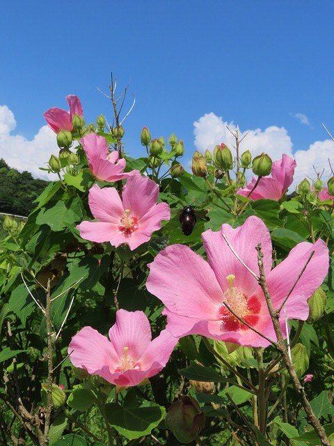 フヨウの花と出会う(撮影:8月30日)_e0321325_15262158.jpg
