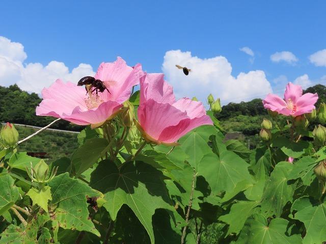 フヨウの花と出会う(撮影:8月30日)_e0321325_15275559.jpg