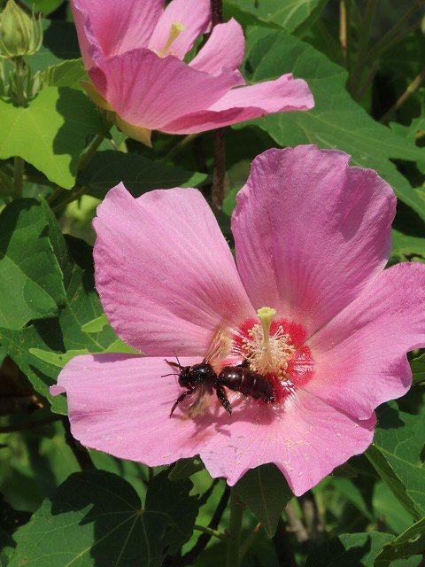 フヨウの花と出会う(撮影:8月30日)_e0321325_15280676.jpg