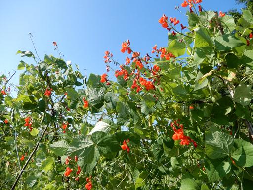 自然農の畑 8月下旬~9月上旬_d0366590_15450241.jpg