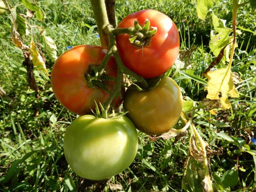 自然農の畑 8月下旬~9月上旬_d0366590_15532284.jpg