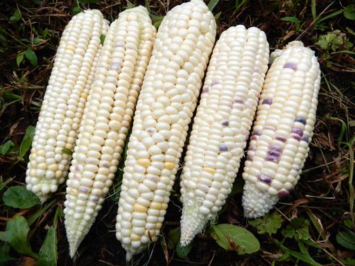 自然農の畑 8月下旬~9月上旬_d0366590_15572686.jpg