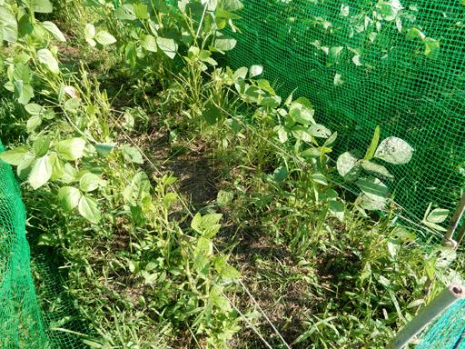 自然農の畑 8月下旬~9月上旬_d0366590_16035492.jpg