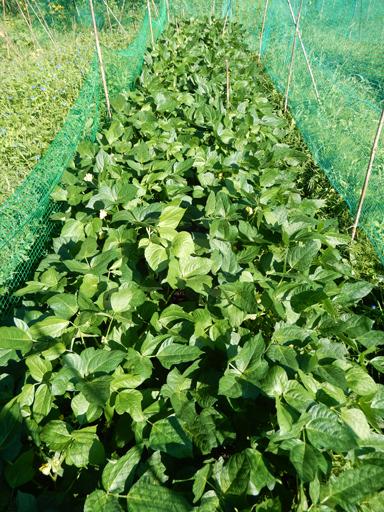 自然農の畑 8月下旬~9月上旬_d0366590_16174506.jpg