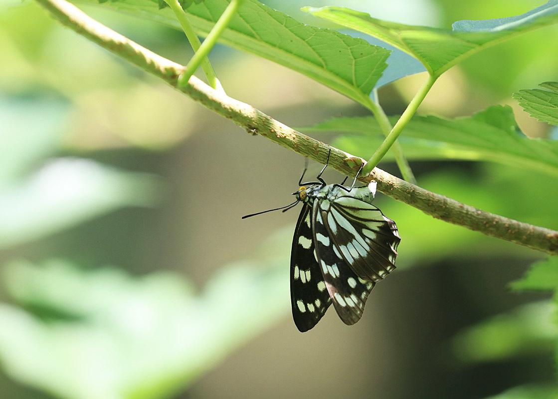 タテハチョウのびっくり事例 その2 ゴマダラチョウの場合_d0146854_10151981.jpg
