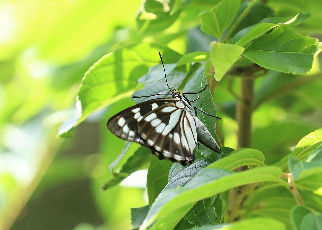 タテハチョウのびっくり事例 その2 ゴマダラチョウの場合_d0146854_10160333.jpg