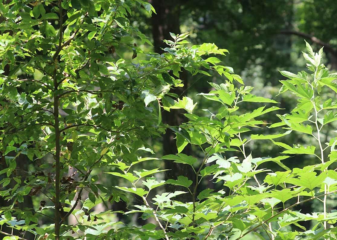 タテハチョウのびっくり事例 その2 ゴマダラチョウの場合_d0146854_10161119.jpg