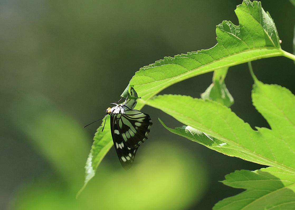タテハチョウのびっくり事例 その2 ゴマダラチョウの場合_d0146854_10163024.jpg