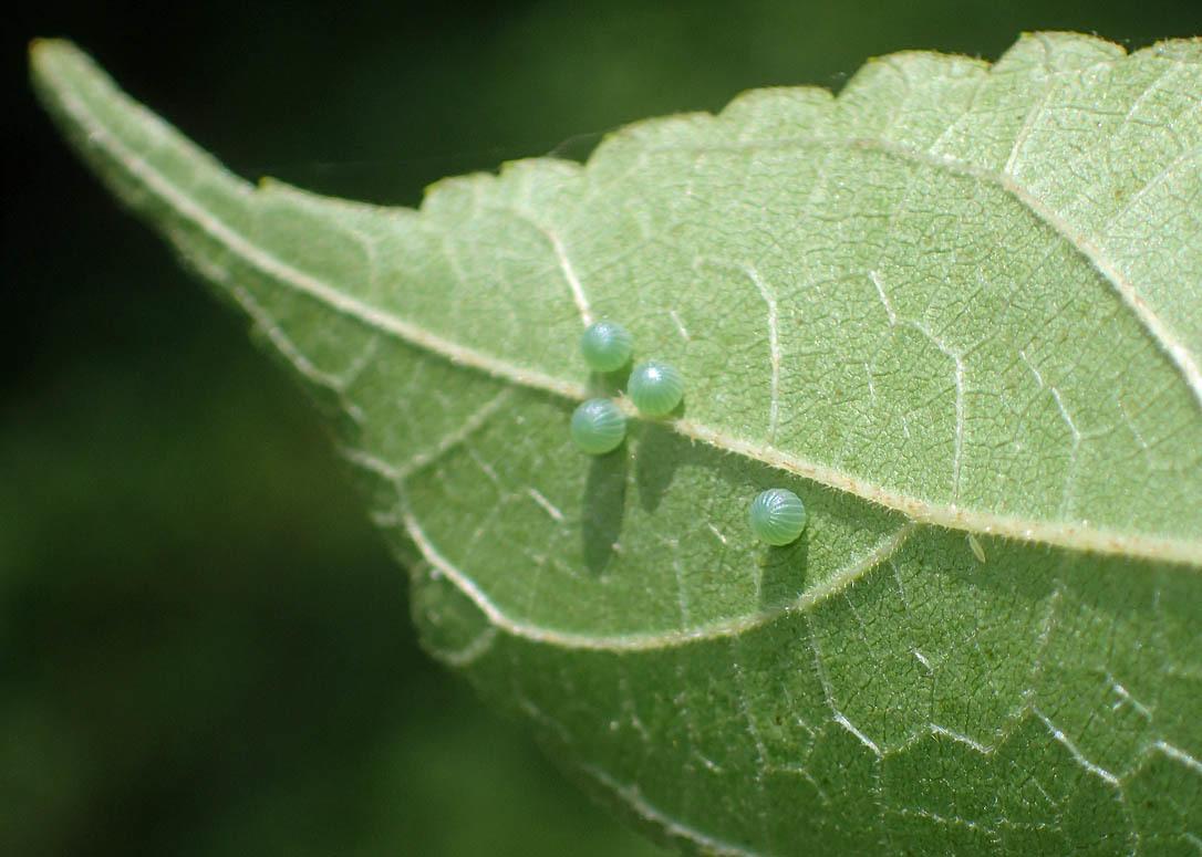 タテハチョウのびっくり事例 その2 ゴマダラチョウの場合_d0146854_10164174.jpg