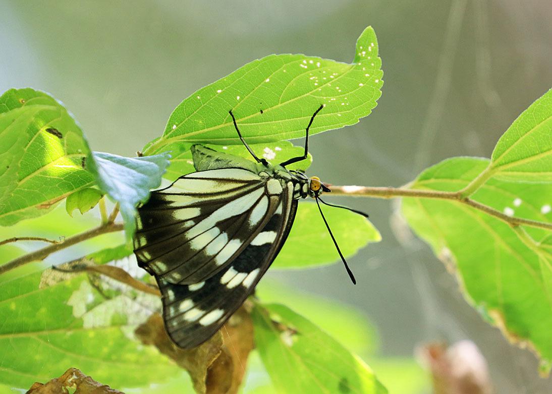 タテハチョウのびっくり事例 その2 ゴマダラチョウの場合_d0146854_10223285.jpg